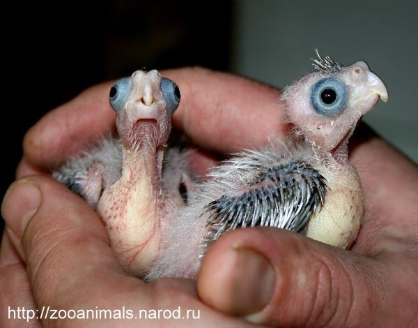 Как размножаются попугаи в домашних условиях