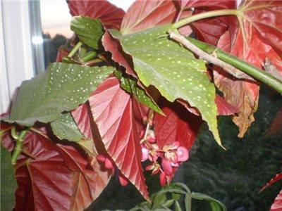 Цветы красные с большими зелеными листьями