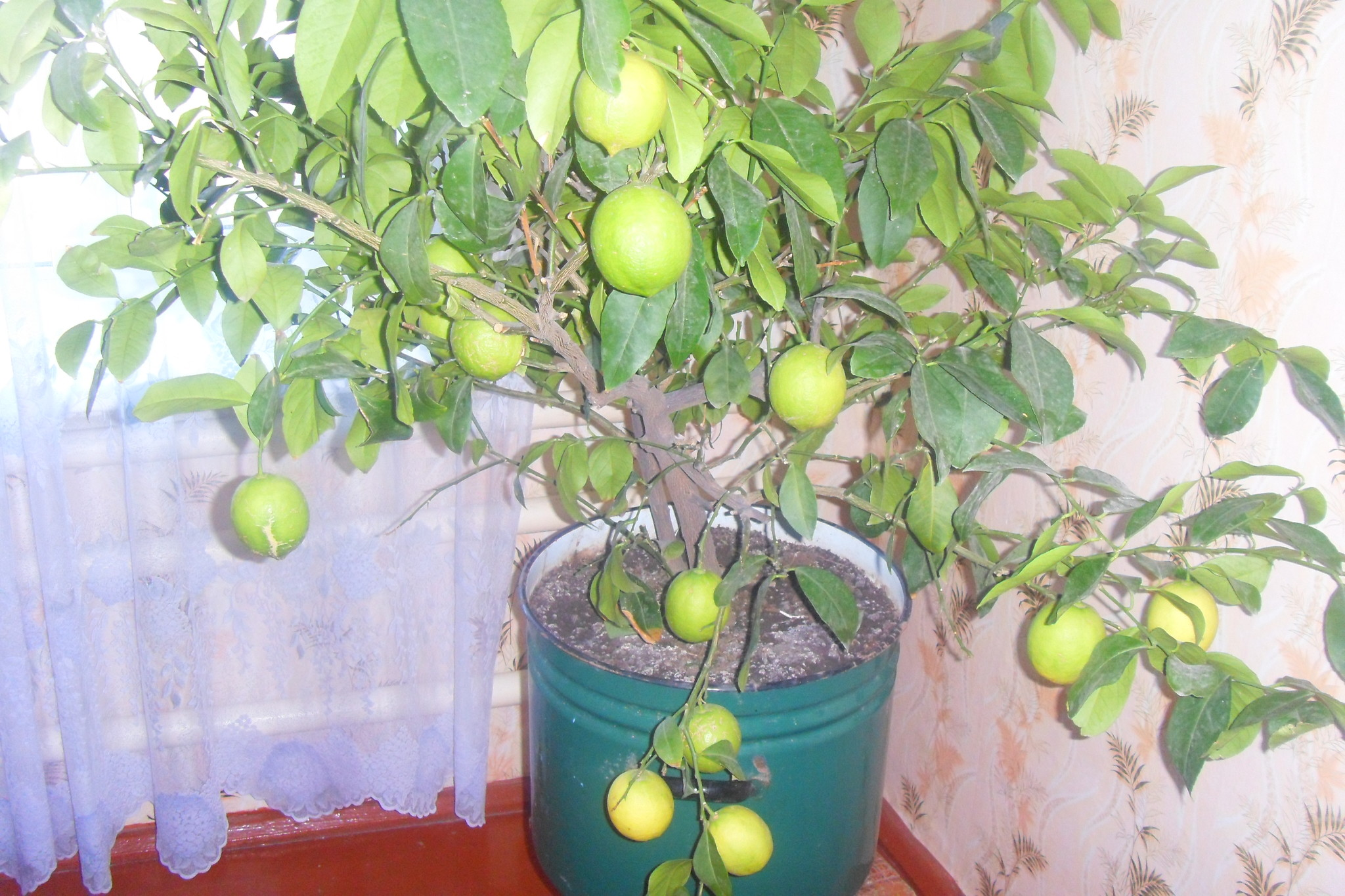 Лимон в домашних условиях опадает