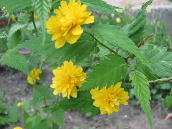 Желтые цветы на кустах