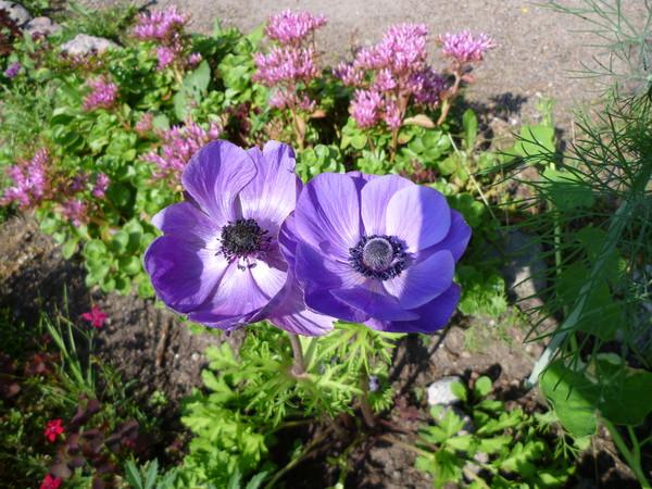Анемона выращивание из семян когда сажать фото 68