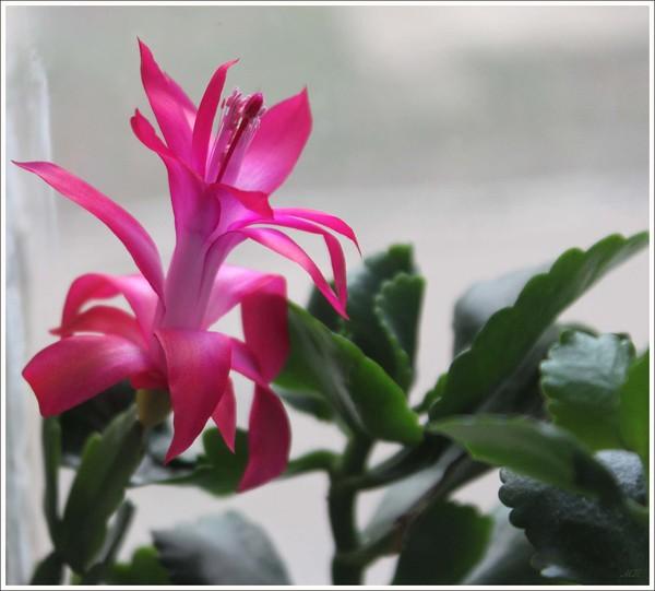 Как сделать чтобы зацвел декабрист цветок