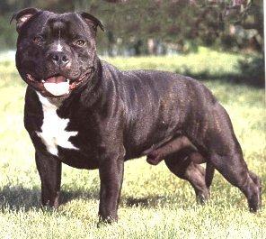 Американский стаффордширский терьер собака фото купить
