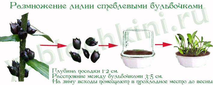 Выращивание лилий 74