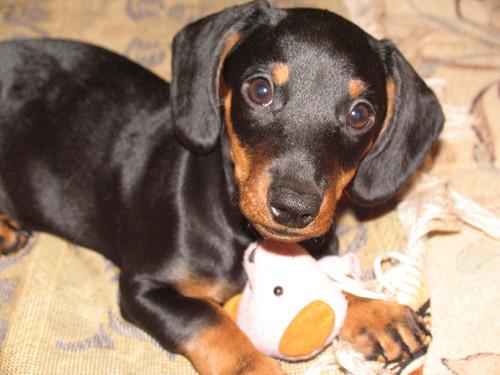 Кто вяжет ( шьёт ) одежду для миниатюрных собак? Москва.