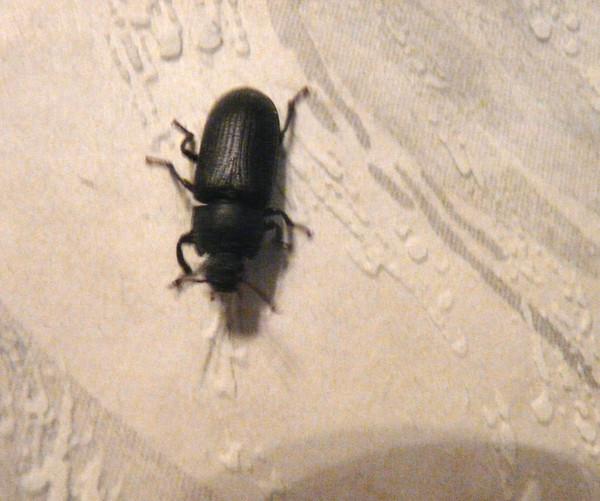 Фото жуков которые живут в домах