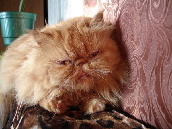 Уход за глазами у персидской кошки