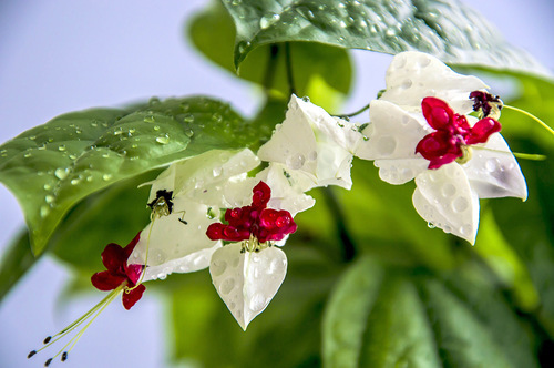 Слёзы иисуса цветок