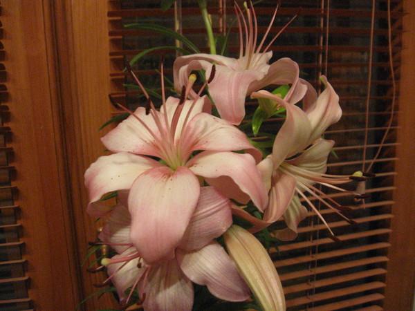 Как ухаживать за лилиями в домашних условиях