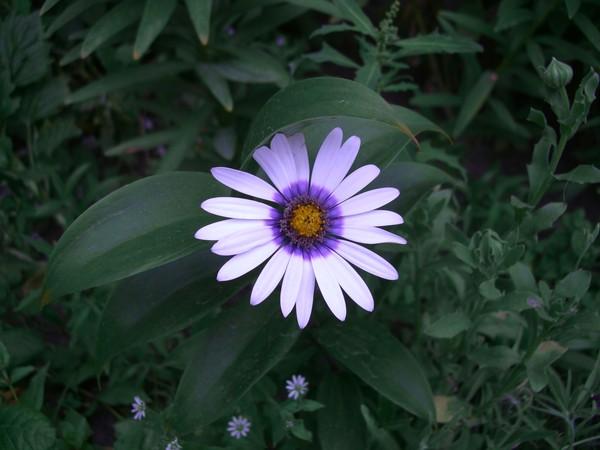 Цветок полярная звезда