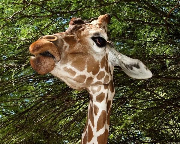 Жираф испугался  № 3895609 без смс