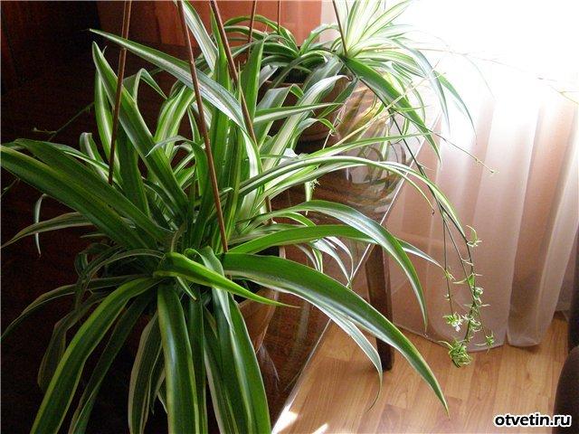 Цветок с длинными листьями как называется и