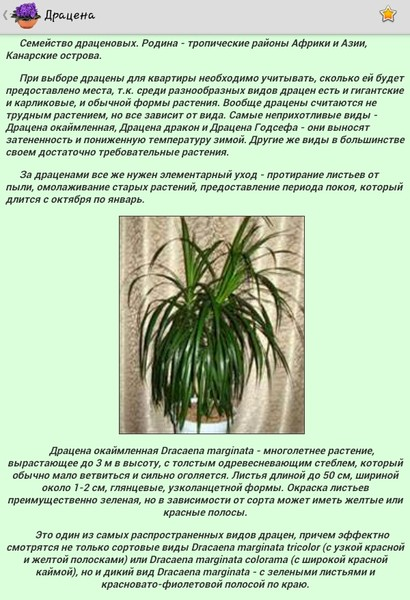 Уход за растением драцена в домашних условиях