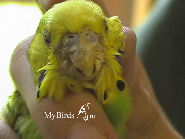 У попугая клещ как лечить в домашних условиях