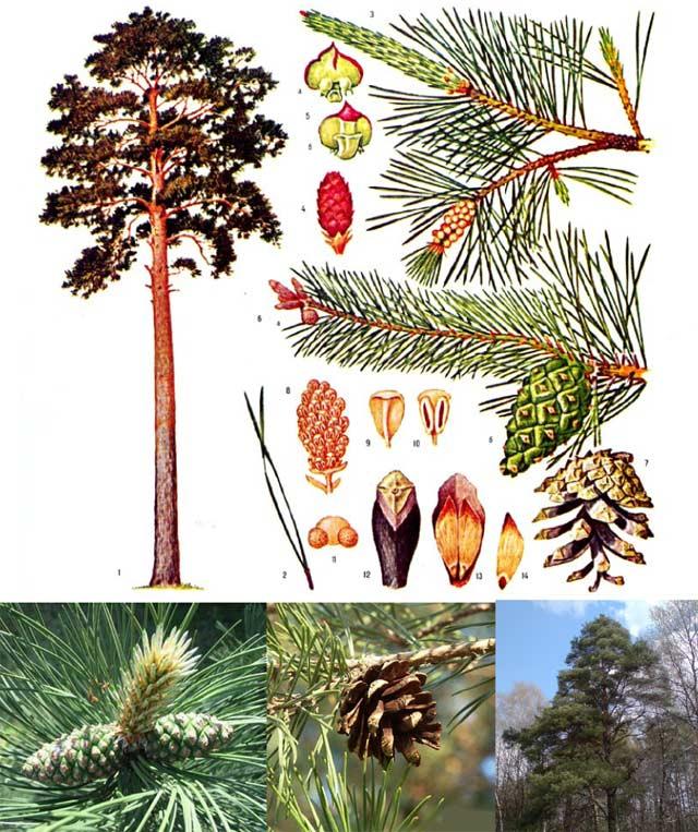 Как сделать хвойное дерево 529