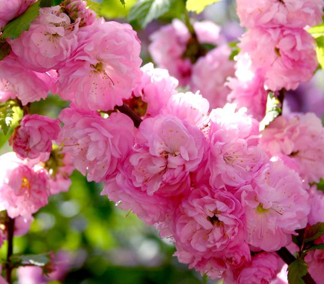 Ответы@Mail.Ru: Как называется это цветок? Помогите пожалуйста кто знает) я думаю - это миндаль... Правильно?