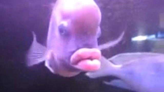 Рыба которая с большими губами