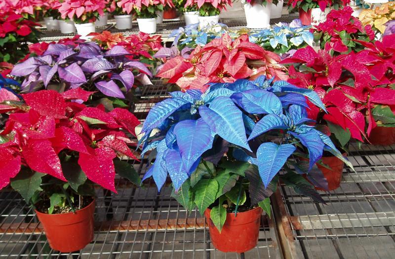 Домашние цветы рождественская звезда уход за растением