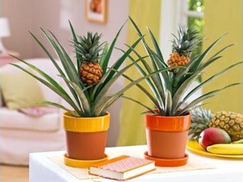 Как выращивать ананас в домашних условиях