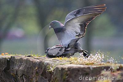 kak-golubi-ebutsya
