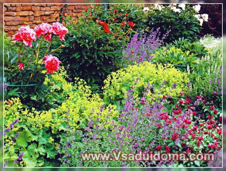 Какие растения сажать с пионами 11