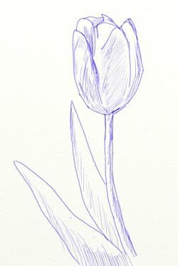 Как нарисовать тюльпаны карандашом поэтапно для начинающих