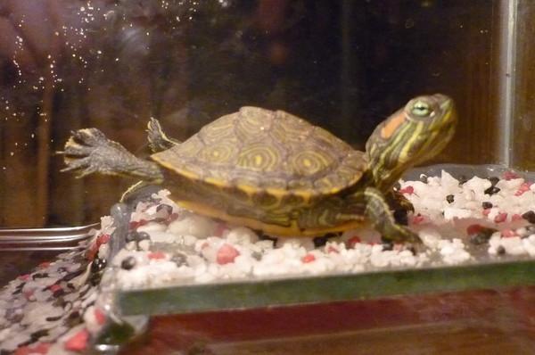 Красноухая черепаха спит на суше