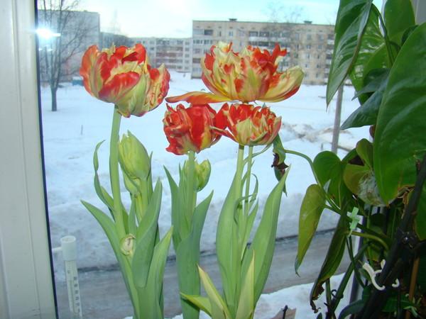 Вырастить тюльпаны в домашних условиях