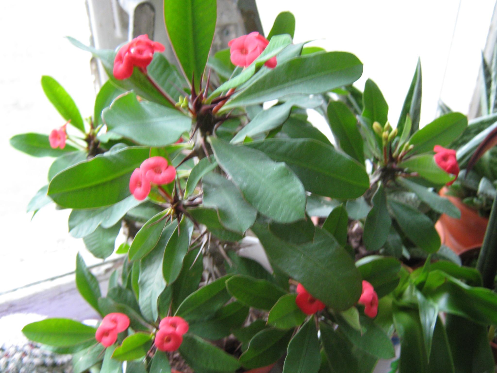 Комнатный цветок с колючками фото и название