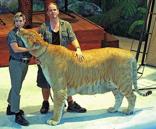 Biggest tiger in the world ever