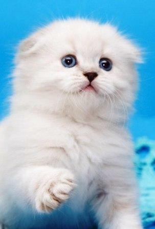 Можно ли вязать шотландскую вислоухую кошку с