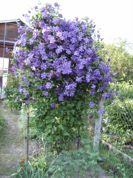 Какие вьющиеся многолетние растения