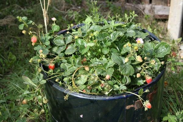 Я выращиваю клубнику своими руками папанов видео