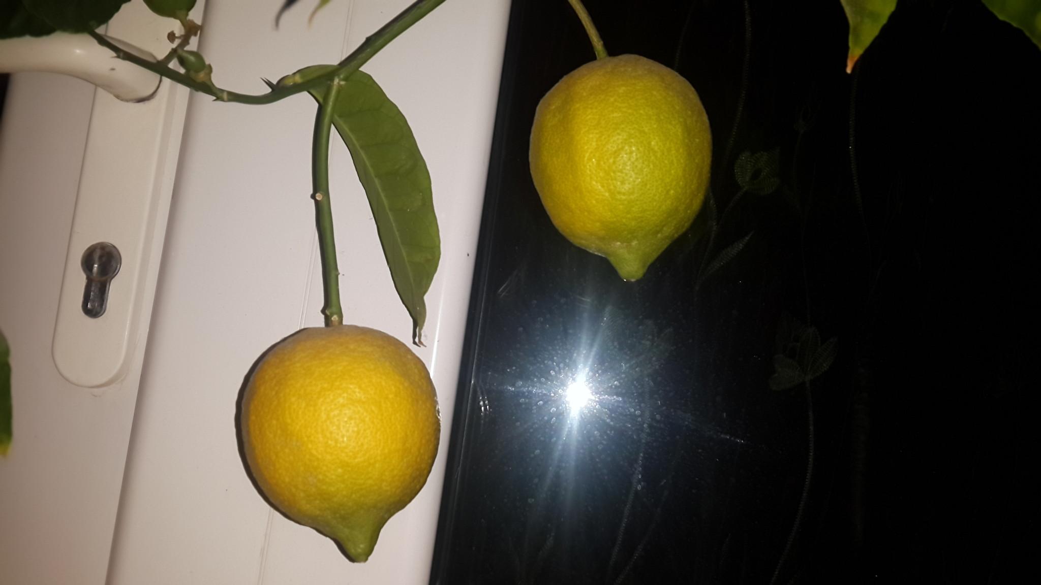 Апельсин из косточки в домашних условиях пошагово