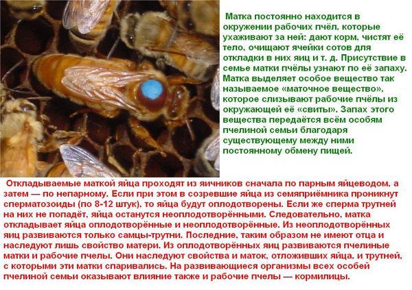 Ответы@Mail.Ru: Сколько дней (суток) живёт пчела?