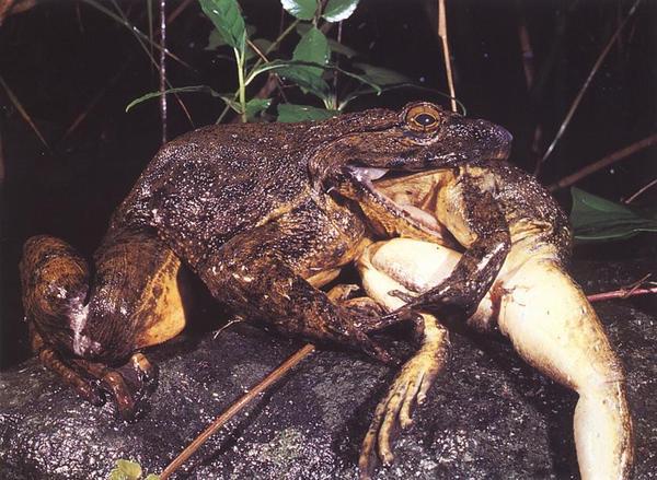 Впервые лягушка-голиаф была обнаружена в камеруне