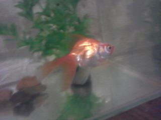 Приснилась беременная золотая рыбка