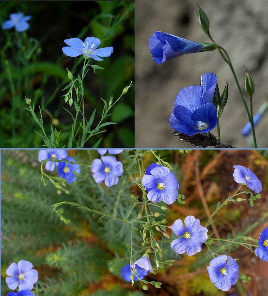 Ленок цветы как сажать 3