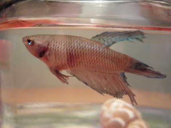 6 стиамский петушок-самая яркая и неприхотливая рыбка пресноводного аквариума