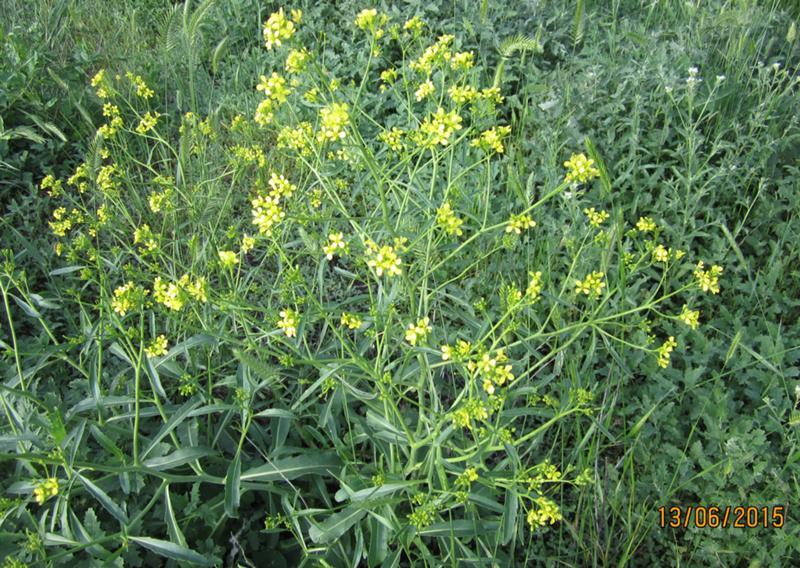 Сорняки с желтыми цветами