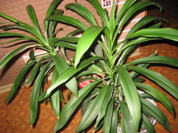 Цветок с длинными зелеными узкими листьями