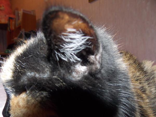 Что делать если кошка трясет ушами