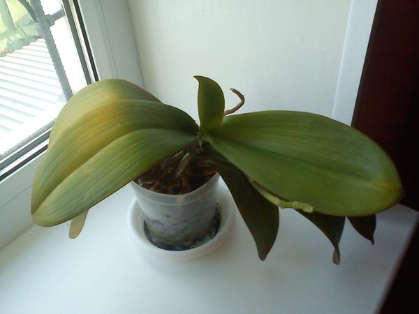 Почему желтеют листья орхидеи фаленопсис