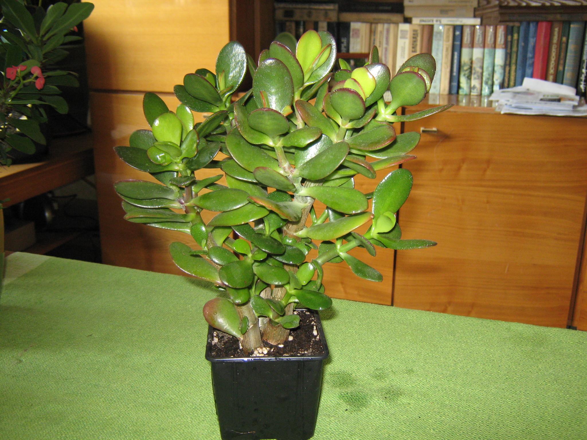Как посадить Денежное дерево (Толстянку) правильно 68