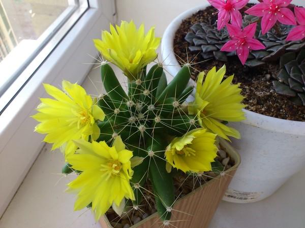 Фото кактусов цветущих в домашних условиях