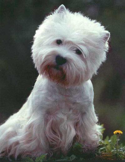 Какие породы собак с белым окрасом вам