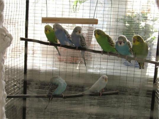 Разводить волнистых попугаев в домашних условиях