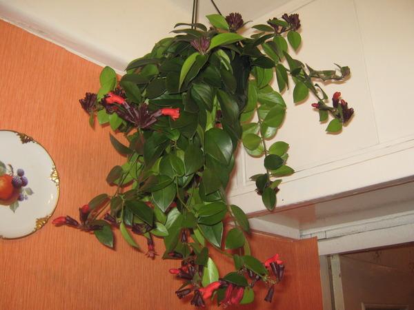 Фото комнатных цветов плетущихся