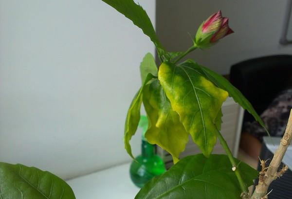 236К розы комнатной желтеют листья что делать