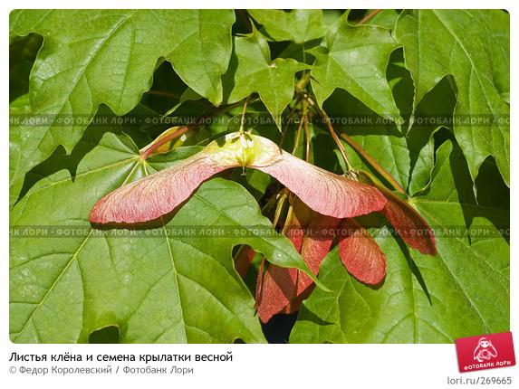 картинки семена клена